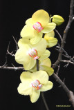 IMG_0667_1 Orchidée0001.jpg