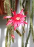 IMG_1519 Mon cactus en fleurs.jpg