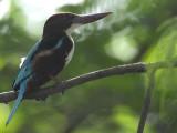 Kingfishers, White Throated