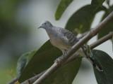 Dove, Peaceful