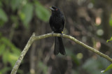 Drongo, Lesser Racket-Tailed