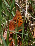 Tenn. River Gorge Spring Butterfly Count, 2009