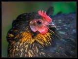 Chicken yard, Wanlo 2008