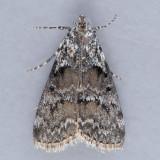 5605 Aspen Webworm – Pococera aplastella