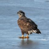 Bald Eagle - Basic II