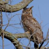 Great Horned Owl near nest