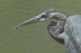 Great Blue Heron and Dragonfly   14:40:25