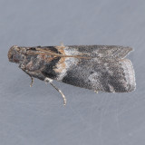 5775.7   Salebriaria simpliciella