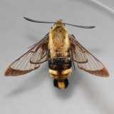 7855 Snowberry Clearwing - Hemaris diffinis