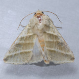 11070 Subflexus Straw Moth - Heliothis subflexa