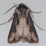 10651 Venerable Dart - Agrotis venerabilis