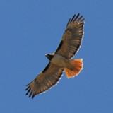 Redtail Hawk @ SLAC