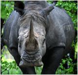 White Rhino, Matobos NP Zimbabwe