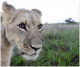 Lion cub, Gweru, Zimbabwe