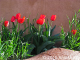 Tulips and adobe