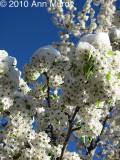 White blossoms and snow
