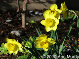 Daffodils in morning