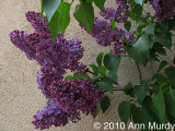 Lilac and adobe