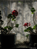 Geraniums and Lace Curtain