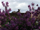 Bronze Cat and Lilac