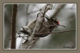 hairy_woodpecker