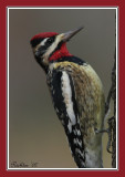 yellow bellied sapsucker.jpg