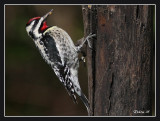 yellow_bellied_sapsucker