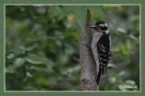 downie_woodpeckers