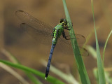 Eastern Pondhawk - Immature Male