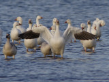 Snow Goose Showing Off