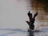 Cormorant Departure