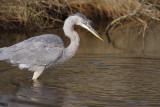 Great Blue Heron - Juvenile