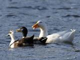 Three Quackers