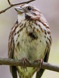 Song Sparrow Closeup