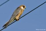Fàlco cucùlo  (Falco vespertinus)