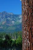 Tahoe Pine.JPG