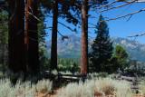 Tahoe forest.JPG