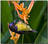 Brown-throated Sunbird