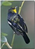 Common Lora - male