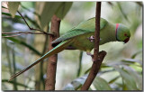 Rose-ringed Parakeet - male