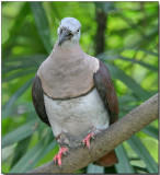 Banded Imperial-pigeon