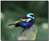Blue-necked Tanager - male