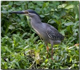 Striated (Little) Heron