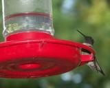 9.16.09 Hummingbird, Minolta A1.jpg