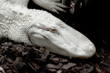 White Alligator2.1624.jpg