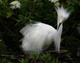 Snowey Egret nest2nt 1529.jpg