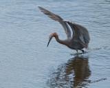 Reddish Egret nt.3978.jpg