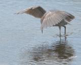 Reddish Egret nt.3979.jpg