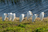 Cattle Egrets Cold nt 4006.jpg