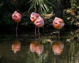 Flamingos3.31.10.NT4791.jpg